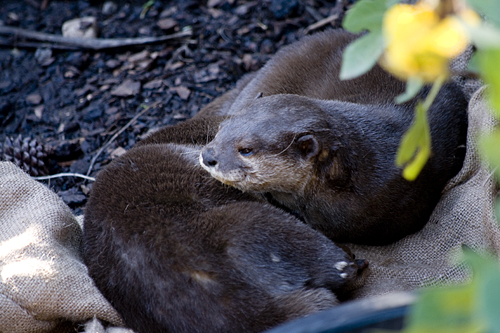 snuggling-otters