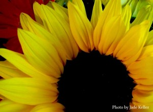 sunflower_rising